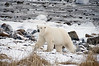 Polar-bear-on-shore-of-Hudson's-Bay-6