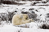 Polar-bear-taking-snow-bath-6