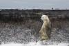 Alert-polar-bear-3