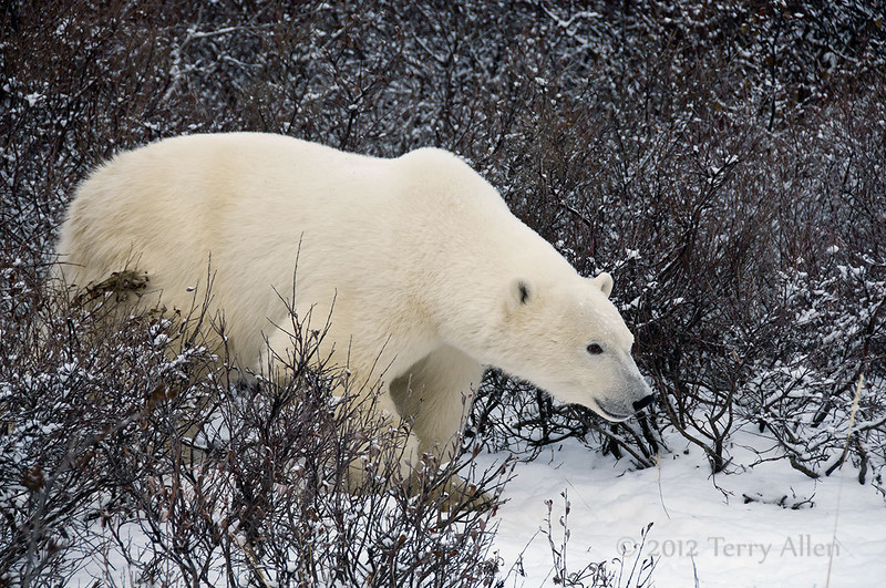 Polar-bear-in-willow-thicket