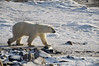 Polar-bear-on-shore-of-Hudson's-Bay