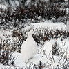 Ptarmigan-red-eyebrow-2