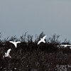 Ptarmigan-flock-in-flight-3