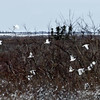 Ptarmigan-flock-in-flight-2