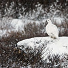 Ptarmigan-on-rock