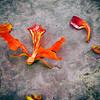 Fallen Hibiscus