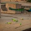 Peacock & Green Parrots