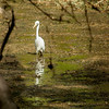 Egret in Ranthambore park