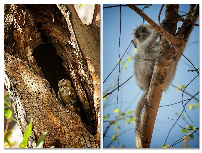 Spotted Owlet - Young Hanuman Langar