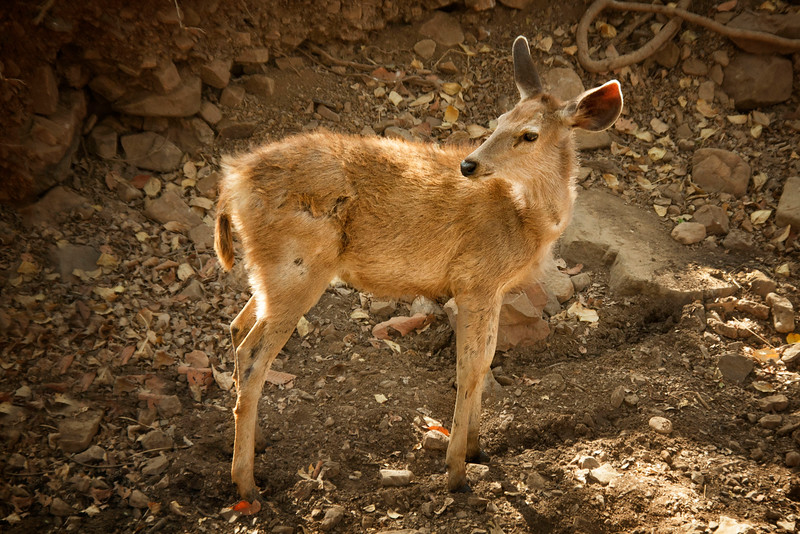 Young Chital