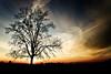 Pickens tree 3
