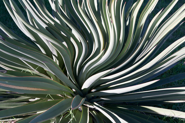 Twisted Agave
