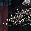 magnolia denudate