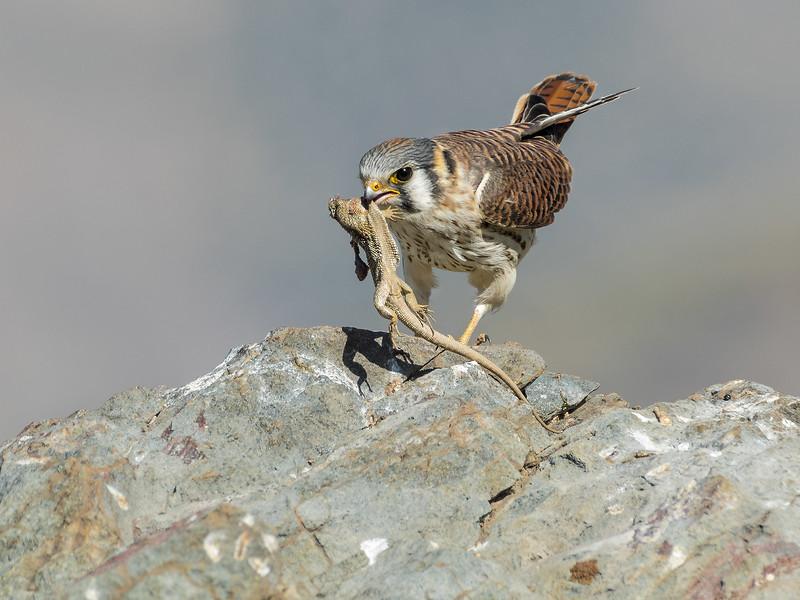American Kestrel - female (Falco sparverius), Farellones, Chile