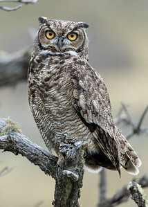 Magellanic Horned Owl (Bubo magellanicus), Farellones, Chile