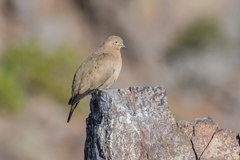 Black-winged Ground-Dove (Metriopelia melanoptera), Farellones, Chile