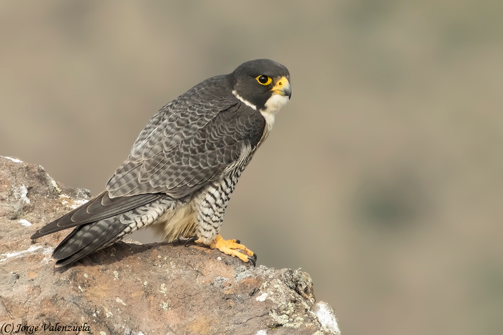 Peregrine Falcon (Falco peregrinus), Farellones, Chile