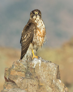 Variable Hawk (Geranoaetus polyosoma), Farellones, Chile