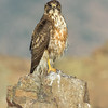 Variable Hawk (juvenile)