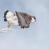 Variable Hawk (female)