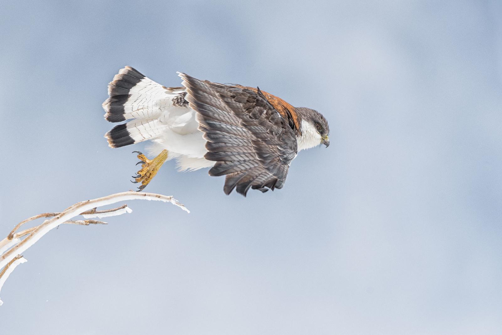 Variable Hawk (Geranoaetus polyosoma), Farellones, Chile