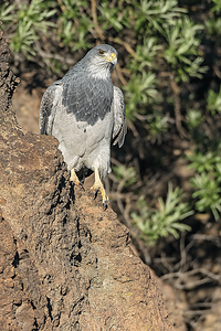 Black-chested Buzzard-Eagle (Geranoaetus melanoleucus), Farellones, Chile