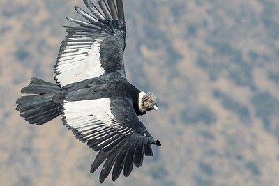 Andean Condor (Vultur gryphus), Farellones, Chile