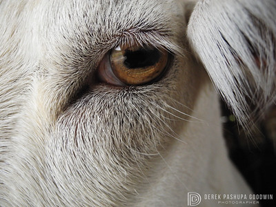 Albie the goat - a closeup of his eye that became the cover for Woodstock Sanctuary's 2013 Calendar.