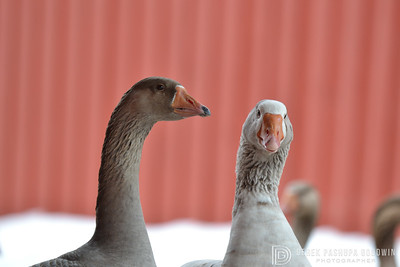 20140315-Farm_Sanctuary_Snow-8294