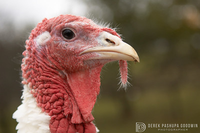 Featured in the book Ninety-Five: Meeting America's Farmed Animals in Stories and Photographs pg. 60  Rochester was rescued by Farm Sanctuary from a man who was raising turkeys in his basement for the Thanksgiving market. Each year, 46 million turkeys are slaughtered for Thanksgiving meals.