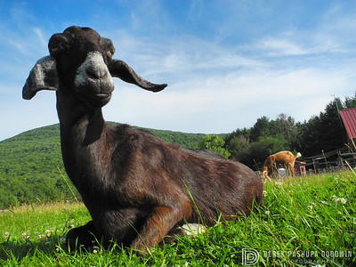 Erica the goat at Woodstock Sanctuary