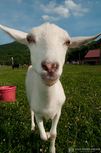 Emmet the goat at Woodstock Sanctuary