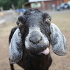 Erica the goat at Woodstock Farm Animal Sanctuary