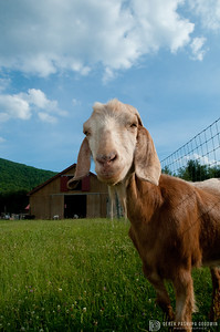 Joey the goat at Woodstock Sanctuary