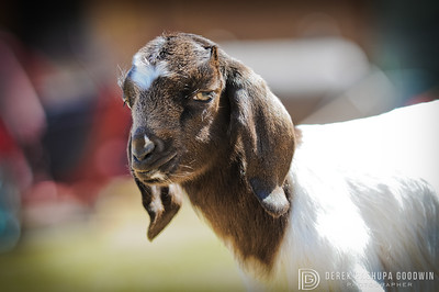 Anne as a baby goat at Woodstock Sanctuary