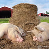 "<div style=""text-align: left;"">Featured in the book <a href=""http://derekgoodwin.com/ninety-five/"">Ninety-Five: Meeting America's Farmed Animals in Stories and Photographs</a> pg. 29  <strong>Rosie & Ronnie</strong> were being taken from a factory farm to a slaughterhouse when the driver parked his triple-decker trailer and then abandoned it, leaving the animals in the hot sun without water. The trailer was seized and the pigs were taken to <a href=""http://www.animalsanctuary.org/"" target=""_blank"">Poplar Spring Sanctuary</a>. Although the corporation who owned the pigs was not prosecuted for for abandoning them, they agreed to sign the pigs over to the sanctuary in lieu of paying them $10,000 to cover expenses. Forty of them, including Maggie and Aurora, were taken to <a href=""http://farmsanctuary.org"" target=""_blank"">Farm Sanctuary's</a> New York shelter to live out the rest of their lives. </div>"