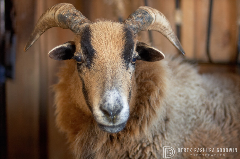 """<div style=""""text-align: left;"""">Featured in the book <a href=""""http://derekgoodwin.com/ninety-five/"""">Ninety-Five: Meeting America's Farmed Animals in Stories and Photographs</a> pg. 77  <strong>Jordan</strong> was rescued by <a href=""""http://farmsanctuary.org"""" target=""""_blank"""">Farm Sanctuary</a> from the Lancaster, Pennsylvania stockyards. He was a """"downer"""" suffering from salt toxicity/water deprivation. """"Downer"""" is the term the meat and dairy industries used to refer to animals so sick, diseased or disabled that they can not even stand on their own. Jordan lived 15 long, happy years at their New York shelter before he passed away. </div>"""