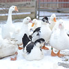 20140316-Farm_Sanctuary_Snow-8412