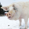 20140316-Farm_Sanctuary_Snow-4722