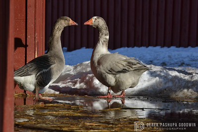 20140314-Farm_Sanctuary_Snow-8243