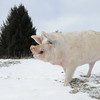 20140316-Farm_Sanctuary_Snow-4729