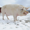 20140316-Farm_Sanctuary_Snow-4719