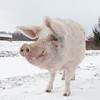 20140316-Farm_Sanctuary_Snow-4749