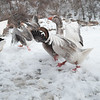 20140315-Farm_Sanctuary_Snow-4492
