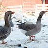 20140314-Farm_Sanctuary_Snow-4286