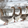 20140315-Farm_Sanctuary_Snow-8299