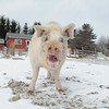 20140316-Farm_Sanctuary_Snow-4735