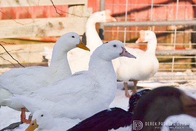 20140314-Farm_Sanctuary_Snow-8217