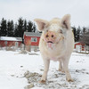 20140316-Farm_Sanctuary_Snow-4738