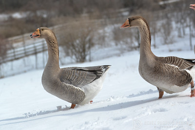 20140315-Farm_Sanctuary_Snow-8302
